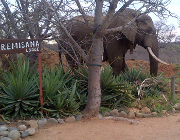 Elephant at Tremisana Lodge