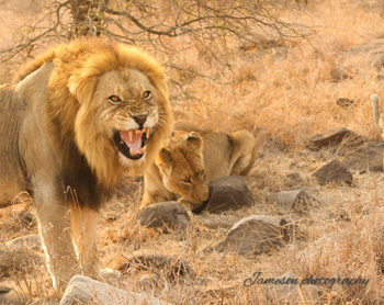 Snarling lion and his lady