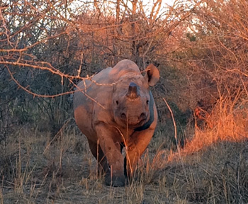 Black Rhino at Marc's Treehouse Lodge