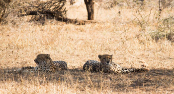 Cheetahs resting during midday heat
