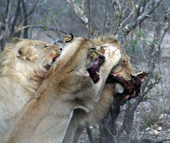 Lions with Bushpig kill – an extremely rare photo !!!