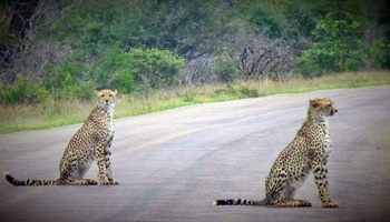 Late evening sighting of 2 Cheetah on the road near Orpen.