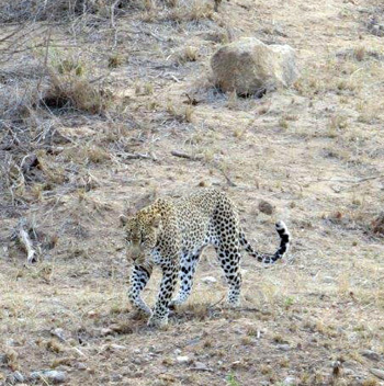 Leopard sighting thanks to screaming monkeys.