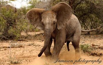 Baby elephant throwing a tantrum.