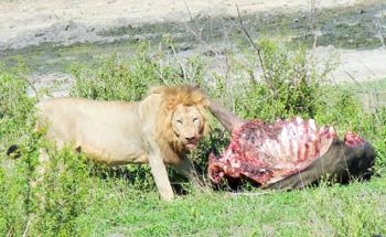 Lion on Buffalo kill.