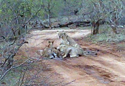 Pride of lions on road near Tremisana.