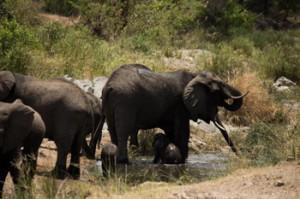 Breeding herd at water.