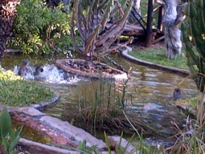 With temperatures reaching over 40C the monkeys landed up in the pond at Tremisana.