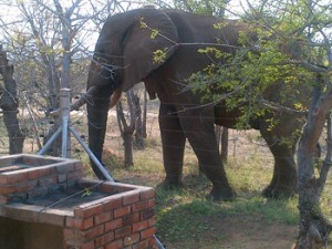 Elephant at Guest House.