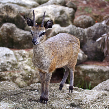 Klipspringer on rock