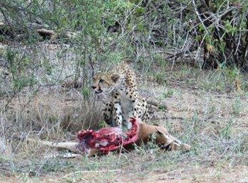 Cheetah and impala kill