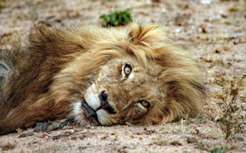 Great photo of lion