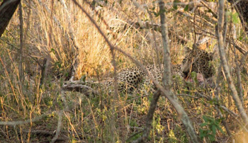 Leopard seen near Orpen