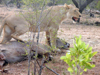Lioness and Waterbuck kill near Satara