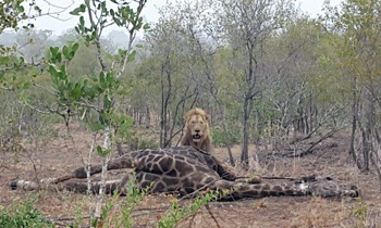 Lion and giraffe kill