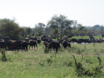 Large herd of buffalo.