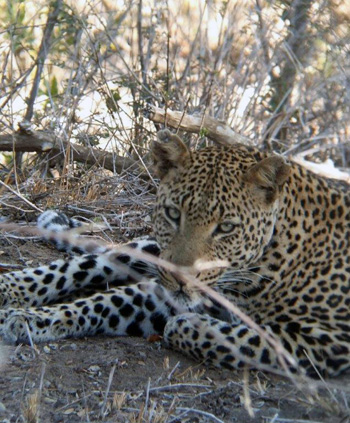 Great sighting of Leopard.