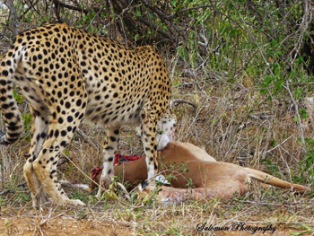 Exceptional sighting of cheetah with impala kill.