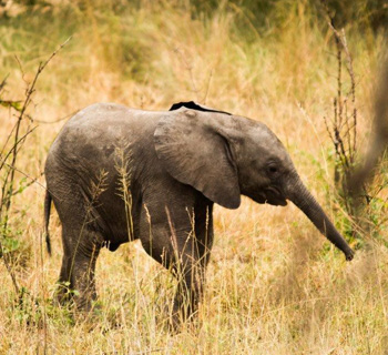 Really young elephant sighting.