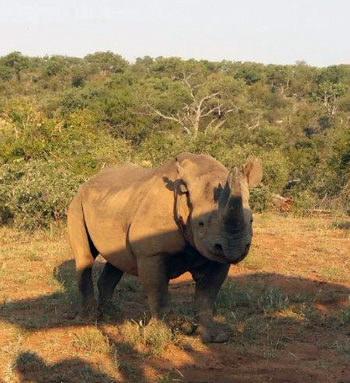 The well-known Zulu the Rhino visiting the game drive.