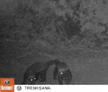 Camera trap shot of Honey Badgers at Tremisana waterhole.