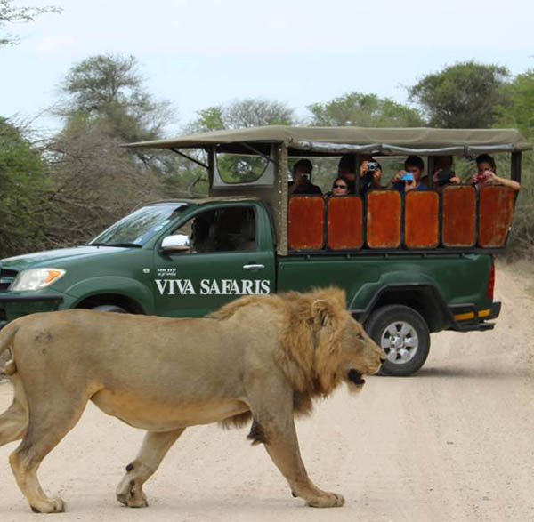 Guests on open vehicle close up to lion in Kruger Park