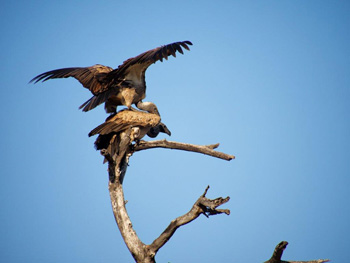 White-backed vultures mating