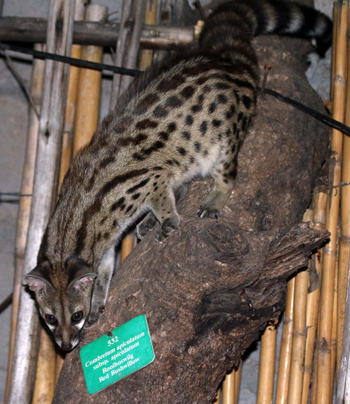 Genet on branch (with tree ID) inside Dinner Boma