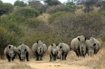 Big group of White Rhino