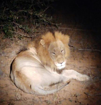 Lion seen during Night Drive after dinner.