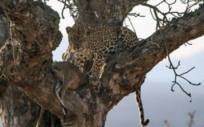 Leopard with fresh Duiker kill up a Marula Tree.