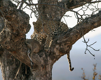 Leopard with fresh Duiker kill up a Marula Tree.