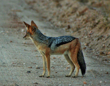 Black-backed Jackal on the road.