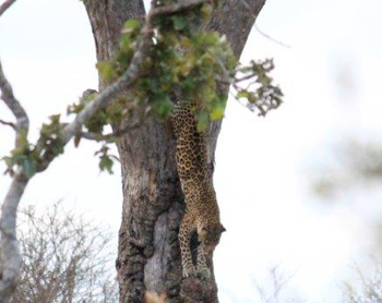 Leopard climbing down tree near Kumana Dam.