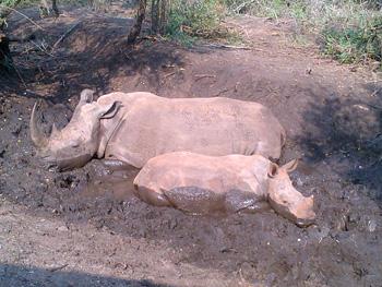 Brilliant shot of White Rhino cow and calf