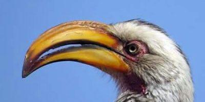 Yellow-billed hornbill.