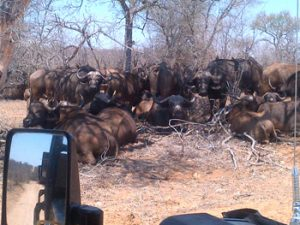 Buffalo herd near Tremisana Lodge.
