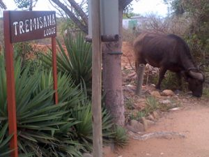 Buffalo at TREMISANA front gate.