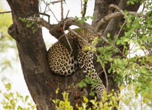 Beautiful Leopard up a tree.