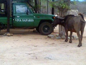 Buffalo having a close look at our Landcruiser in the car park.