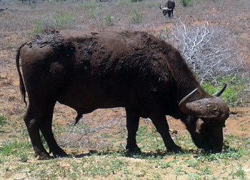 Buffalo Bull near the Olifants River.