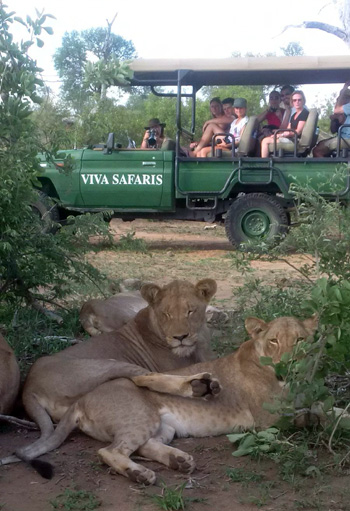 Close encounter with lions on Balule Game Reserve.