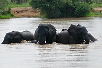 Elephants having fun.