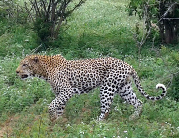 Big male leopard near Orpen.