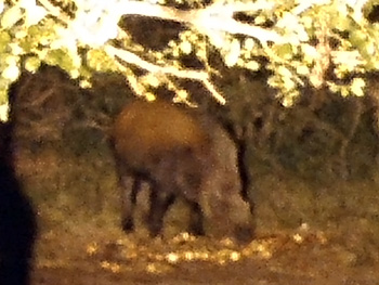 Night shot of bushpig at our illuminated waterhole.