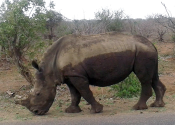 Rhino on the road.
