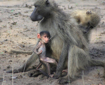Baboon troop with young.