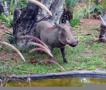 Warthog at Tremisana Lodge