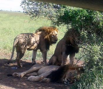 3 male lions near Satara.