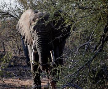 Elephant close up.